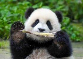 7 Day Chengdu Panda Caregiver Volunteer Program Featured