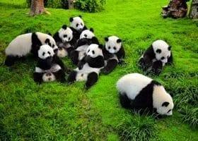 Half Day Chengdu Giant Panda Tour
