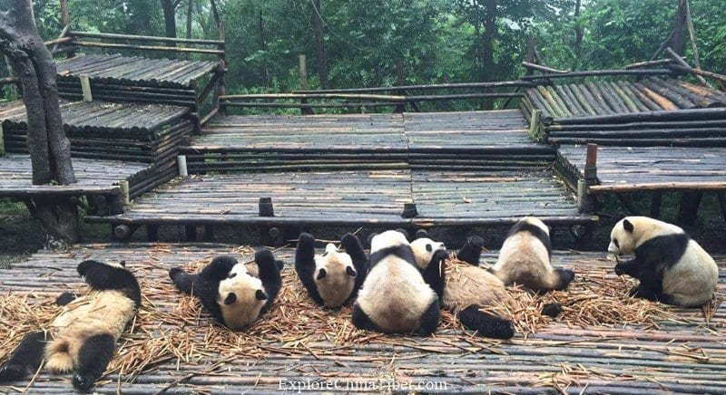 Top 10 Attractions in Sichuan Province - Chengdu Research Base of Giant Panda Exploration Tour Top 10 Tourism Attractions in Chengdu Name List and Entrance Tickets Price