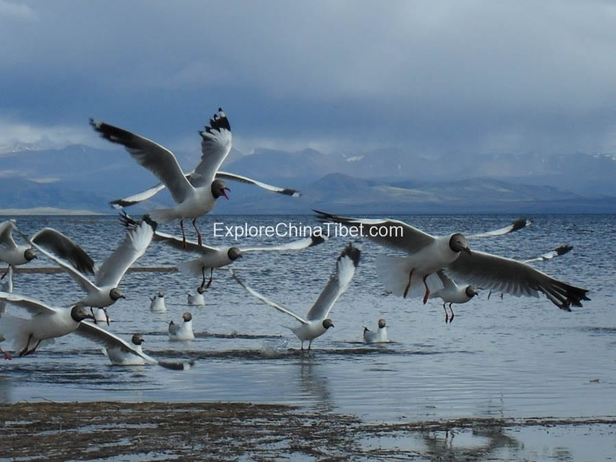 Top Wild Birds in Tibet Wildlife Tibetan birds
